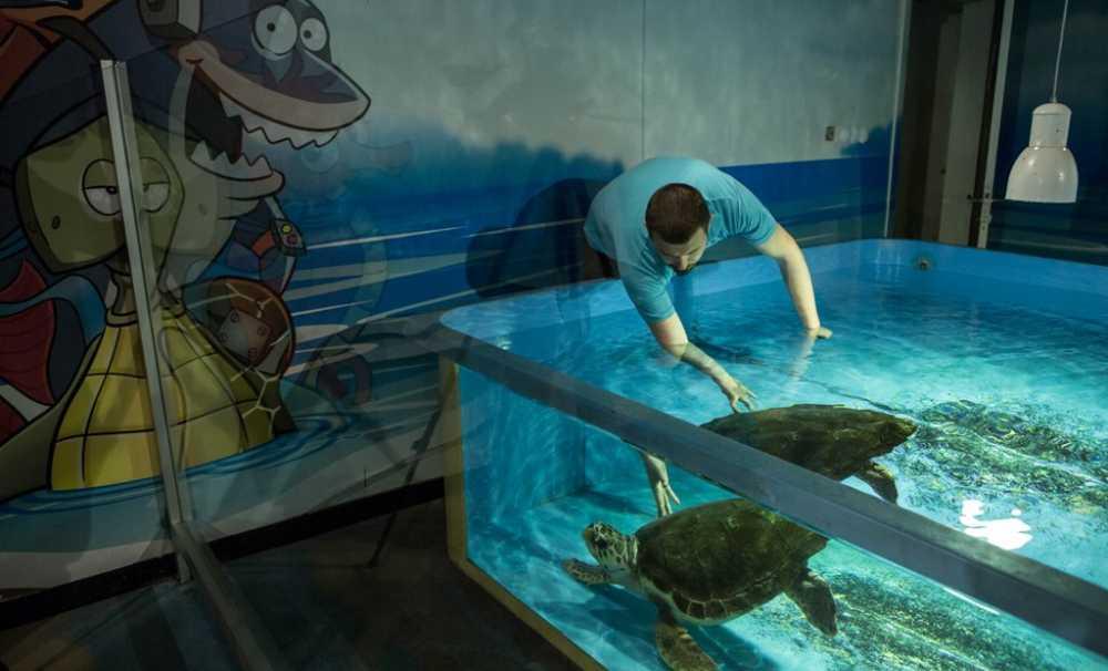 Kaplumbağa Dilek Sağlığına Kavuştu,  Denize Salınacağı Günü Bekliyor